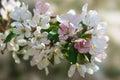 Brumes roses du ressort Photos libres de droits