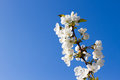 Brunch of apple blossoms against a blue sky Royalty Free Stock Photo