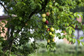 Brunch of plums full with fruits hanging from its wight greeny surrounding Royalty Free Stock Photography