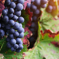 Brunch of red grapes with autumn leaves Royalty Free Stock Photo