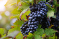 Brunch of red grapes with autumn leaves Stock Photography