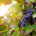 Brunch of red grapes with autumn leaves Royalty Free Stock Photography