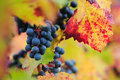 Brunch of red grapes with autumn leaves Stock Images