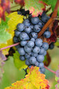 Brunch of red grapes with autumn leaves Royalty Free Stock Images