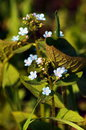 Brunnera garden flower close up Royalty Free Stock Photos