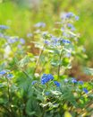 Brunnera macrophylla a blue spring flower Stock Photo