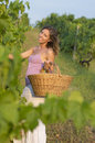 Brunnette girl in vineyard working on grape harvest with big wic Royalty Free Stock Photo