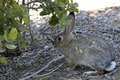 Brush Rabbit Royalty Free Stock Photo
