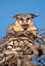 Brush tail possum in tree australian on top of a Royalty Free Stock Photography