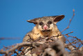 Brush tail possum in tree australian on top of a Stock Photos