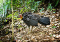 Brush turkey the australian in the wild of the queensland hinterland around mt warning Royalty Free Stock Image