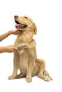 Brushing golden retriever fur human hand isolated in white background with clipping path Stock Photo