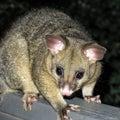Brushtail possum Royalty Free Stock Photo
