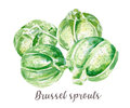 Brussel sprouts illustration. Hand drawn watercolor on white background.