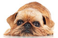 Brussels griffon dog lying down on white Stock Photography