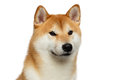 Brutal Red Shiba inu Dog on Isolated White Background Royalty Free Stock Photo
