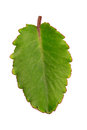 Bryophyllum leaf Stock Photography