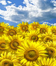 Bstract background with sunflowers over blue clouds sky Royalty Free Stock Images