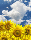 Bstract background with sunflowers over blue clouds sky Stock Photos