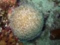Bubble anemone Stock Image