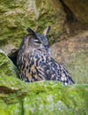 Bubo bubo horned owl close up Royalty Free Stock Photos