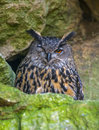 Bubo bubo horned owl close up Stock Photography
