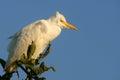 Bubulcus牛白鹭ibis 免版税库存图片