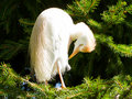 Bubulcus ibis, cattle egret, in a tree Stock Image