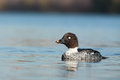 Bucephala clangula, Common Goldeneye. Royalty Free Stock Photography