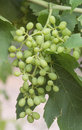 Buch of developing sultana grapes a bunch small green on a vine Royalty Free Stock Image