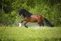 Bucht vladimir heavy draft pferd das auf der wiese spielt Lizenzfreie Stockbilder