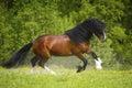 Bucht vladimir heavy draft pferd das auf der wiese spielt Lizenzfreies Stockbild