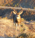 Buck deer with full antlers at the marin headlands beautiful young taking a break from eating sunrise up on top of in sausalito Stock Photo
