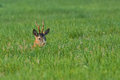 Buck deer hidden in the grass Royalty Free Stock Photo