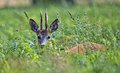 Buck deer hidden in the grass a clearing Stock Photo