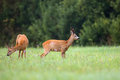 Buck deer with roe deer in a clearing the wild Royalty Free Stock Images