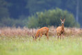 Buck deer with roe deer in a clearing the wild Royalty Free Stock Photo