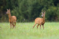 Buck deer with roe deer in a clearing the wild Royalty Free Stock Photos