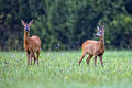Buck deer with roe deer in the wild a clearing Royalty Free Stock Photos