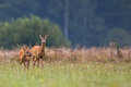 Buck deer with roe deer in the wild a clearing Stock Photos
