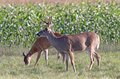A buck and doe whitetail deer feed in northern wisconsin field Royalty Free Stock Images