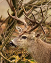 Buck with drop tine a trophy black tailed deer a in california Royalty Free Stock Images