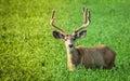 Buck eating greens Royalty Free Stock Photo