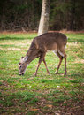 Buck grazing a young grazes the grass near the cades cove visitor center in tennessee Stock Photo