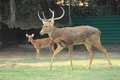 Buck Mule Deer. Royalty Free Stock Photo