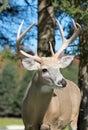 Buck In Nature