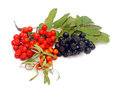 Buck thorn ashberry and chokeberry with leaves on a white background Royalty Free Stock Images