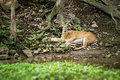 Buck Whitetail Deer Resting Royalty Free Stock Photo