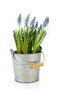 Bucket Blue Grape hyacinths Royalty Free Stock Photo