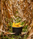 Bucket full of corn Stock Image